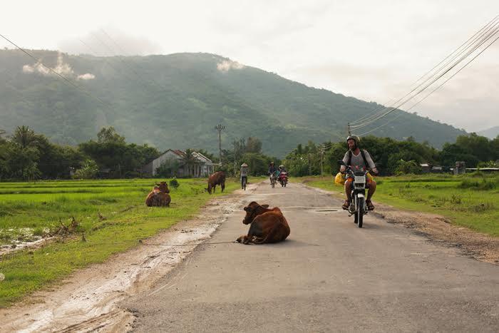 Voľne pohodená krava veľkosti XXL. Vietnam sa od Indie zasa až tak nelíši. V niečom