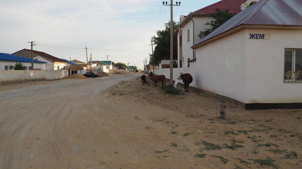 Beyneu - kravička si pochutnáva na plastovom obale