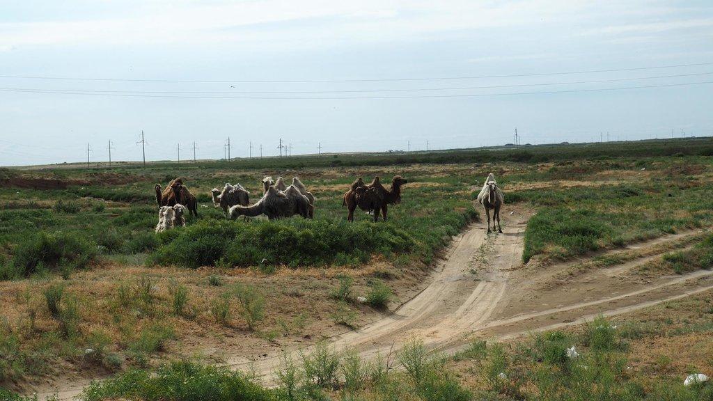 Prvé ťavy v Kazachstane