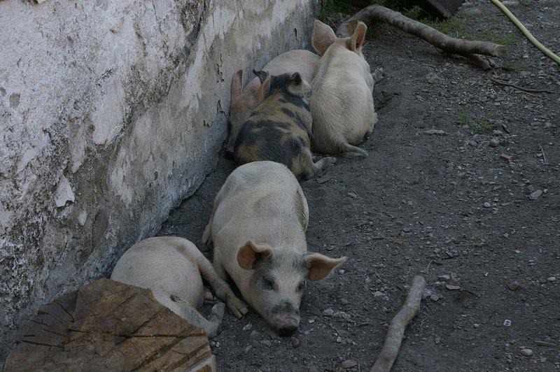 Svinky oddychovali v tieni vedľa reštiky - Albánsko