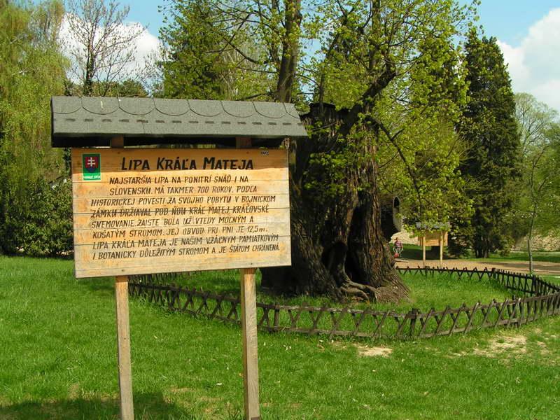 Bojnický zámok - Takmer 700-ročná lipa kráľa Mateja.