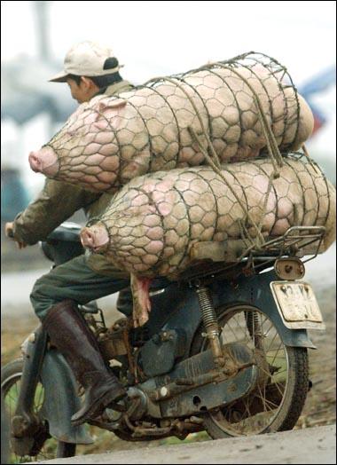 Už som videl na motorke všeličo, ale dve prasata ???