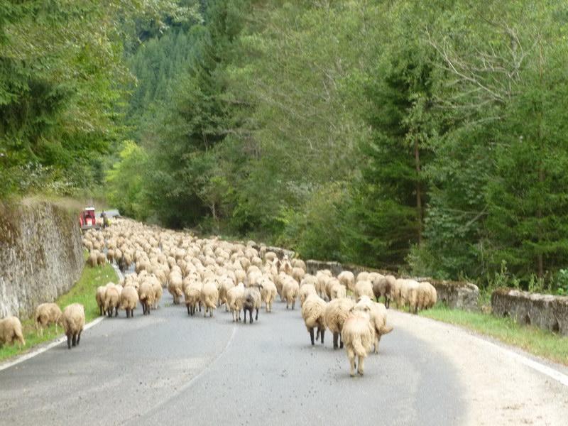 Transylvánske ovečky