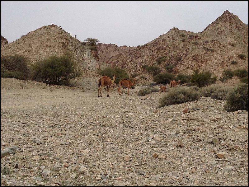 Vari 30km od Muscatu stretávame prvé ťavy.